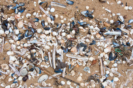english channel: Seashells on the English Channel beach. Normandy, France. Stock Photo