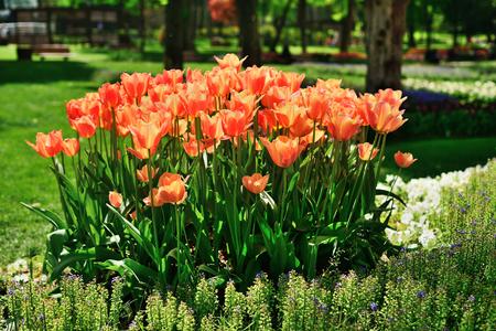 Tulips in Gulhane Park, Sultan Ahmet, Istanbul, Turkey. Stock Photo