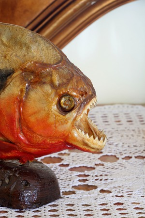 pirana: Detail of a red bellied piranha embalmed in a lounge