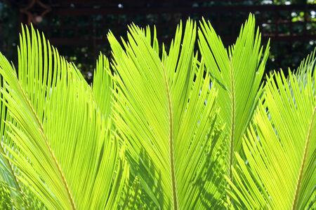 cycas: Lighty green leaves of a cycas palm in a garden Stock Photo