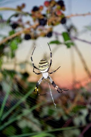 Big yellow spider argiope bruennichi in web ahead color sunset photo