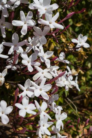 five petals: Bush of white Jasminum Polyanthum five petals in garden