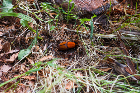 Red Palm Weevil beetle insect digging in the ground photo