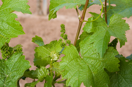 Bunches of immature grapes are clustered along a healthy grapevine at a vineyard in Albuquerque, New Mexico.