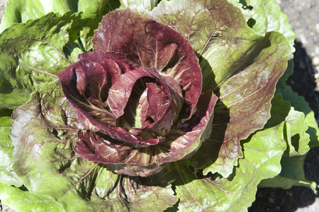 Close up of an organically grown red cabbage growing in a small neighborhood garden.  Many communities are discovering that buying their vegetables and fruits locally is a great way to get fresh, healthy produce without the cost and worry of those items s