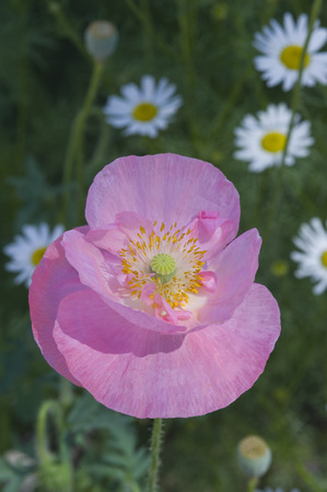 A beautiful orange Icelandic poppy, Papaver nudicaule, shows off its true colors, with vibrant fragile pink petals, yellow filaments and anthers, set against a background full of daisies.