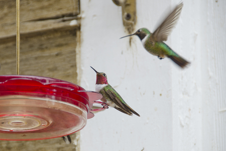 A male ruby throated hummingbird sits contentedly on a feeder, as his female counterpart decends toward him.  She is blurred in flight, but he sits still in beautiful splendor.