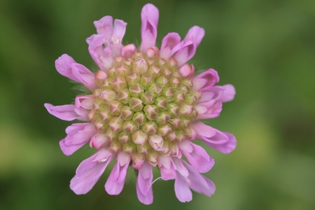Blossoming Red Clover Close-Up Stock Photo - 15220655