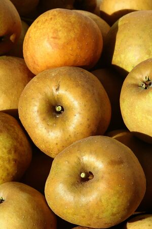 russet: Three russet apples in warm sunlight