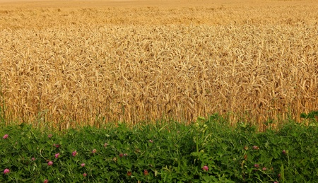Golden wheat field photo