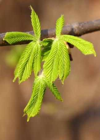 conker: Conker Tree Fresh Spring Leaves in Sunlight