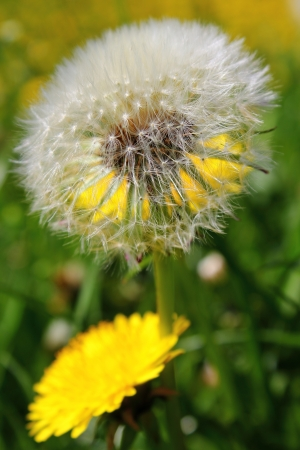 Common Dandelion Silver Clock with Yellow Flowers photo