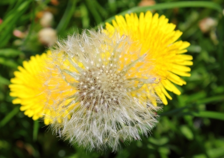 Common Dandelion Silver Clock with Two Yellow Flowers photo