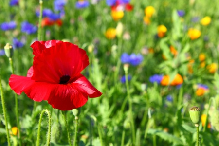Red poppy flower with blurred meadow background photo