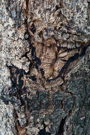 brak: Texture of bark tree,Background