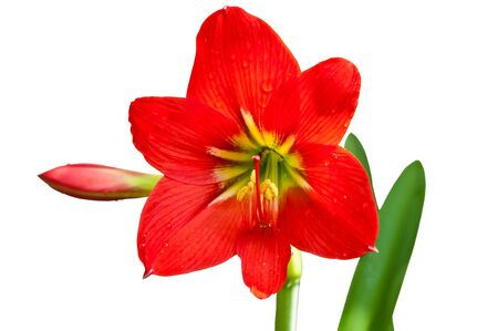 beautiful red lily photo