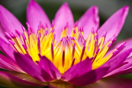 Lotus flower blooming at thailand photo
