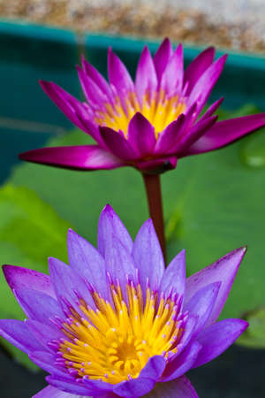 Purple Lotus flower blooming at thailand photo