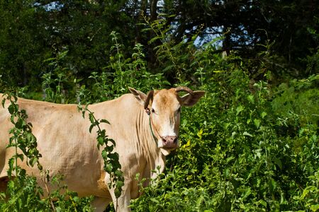 lineage: Asian lineage cow in tropical field