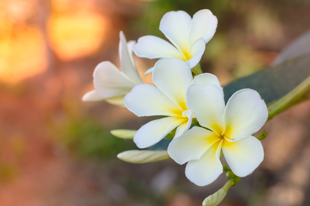 group of yellow white flowers of Frangipani, Plumeria