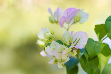 close up Bougainvillea flowers on garden background Stock Photo