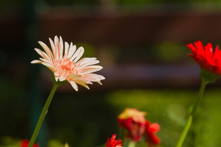 Gerbera flower in the garden Stock Photo