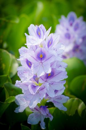 fleur de jacinthe d'eau dans les sources d'eau naturelles Belle lumineuse du soleil