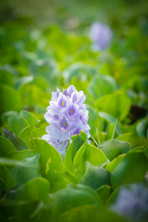 Water hyacinth flower in natural water sources Beautiful bright sunlight