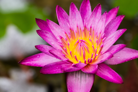 Close up of Purple lotus flower in a pond