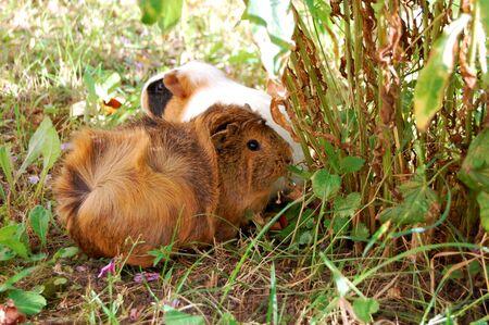 Guinea pig Cavia porcellus is a popular household pet. Reklamní fotografie