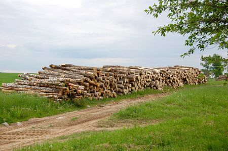 Forest of pine and birch logs cut down by logging