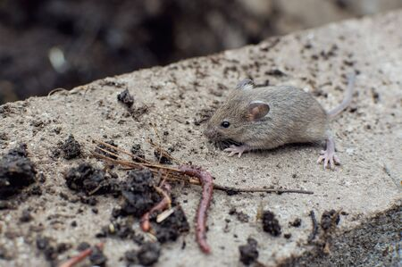 A small gray mouse walks down the street on a concrete curb. Wild mouse. Field rodent. Archivio Fotografico