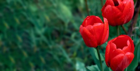 Red tulips on a green background. Place for text. Drops of dew on a tulip bud