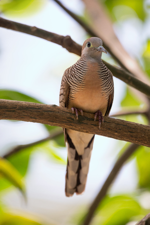 Zebra dove, Geopelia striata, common tame Philippine dove small bird
