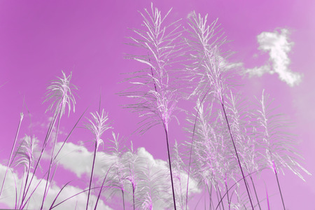 Silver Feather Plant, flowering Asia grass Miscanthus sinensis plant in Philippine nature pink color Foto de archivo