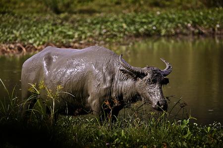 Muddy water buffalo having fresh mud-bath Stock Photo