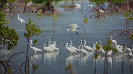 Little egrets migrate birds at philippine Olango island bird sanctuary while bird watching