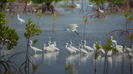 Seidenreiher ziehen Vögel im Vogelschutzgebiet der philippinischen Insel Olango, während sie Vögel beobachten
