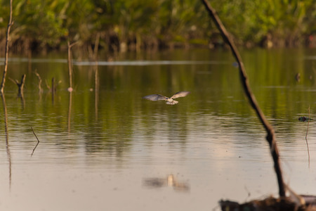 Whiskered Tern birds at a mangrove hunting and crab watching a tranquil bird watching scene