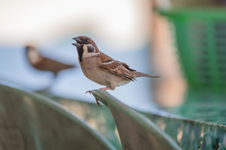 Sparrow sitting on a chair in front of a camera, cute bird watching scene Stockfoto