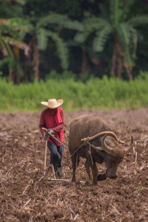 Farmer and water buffalo plow a agriculture field in a vintage lifestyle and traditional farming rural scene 版權商用圖片