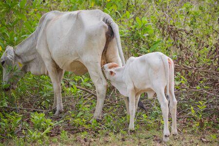 Calf suckle lactate cow feeding cow outdoor in a domestic rural farmland scene 版權商用圖片