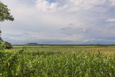 Corn field and meadow danao in the  under a white clouds sky 版權商用圖片