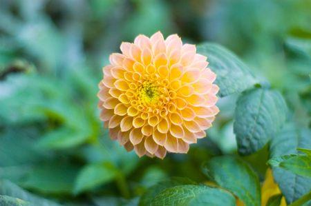 orange dahlia flower in the garden photo