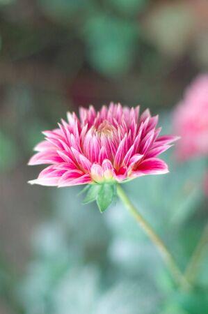 pink dahlia flower in the garden photo
