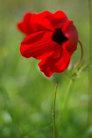 anemone flower: fiore anemone rosso