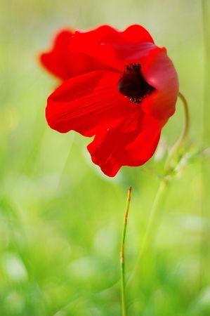 anemone flower: anemone rosso fiore