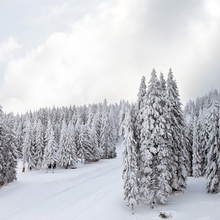 winter ski landscape with pine trees covered with snow