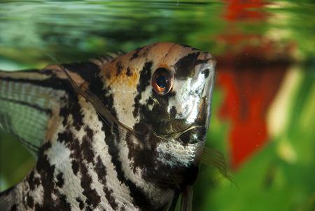 Small anemonefish in the aquarium, close up Stock Photo