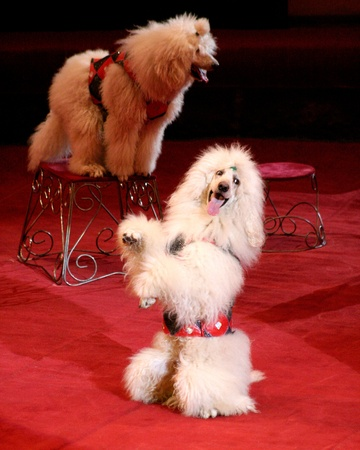 two poodles while performing in the circus on a red background photo